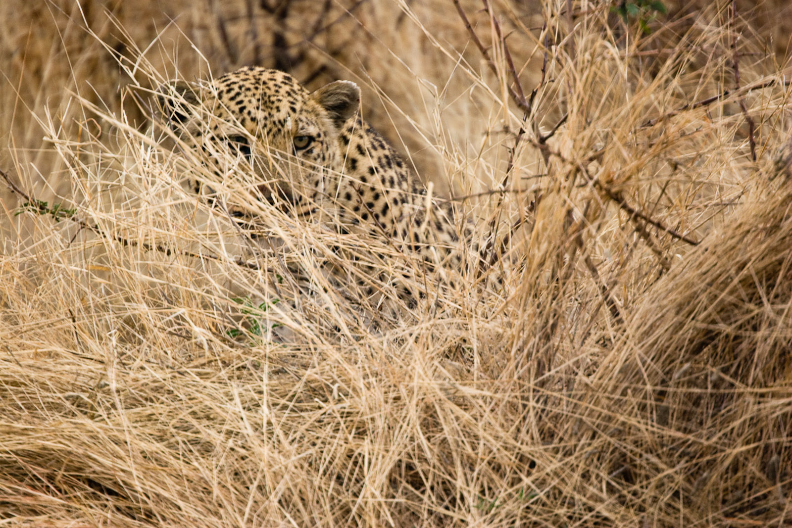 A stalking leopard in stealth mode.